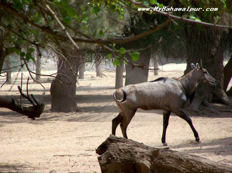rare chinkara gazelle in lal suhanra bahawalpur